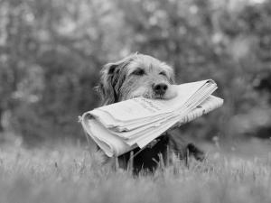 Mixed Breed Dog Holding Newspaper in Mouth by H. Armstrong Roberts