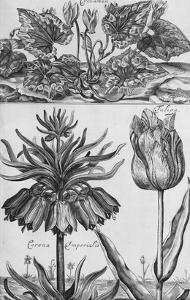 Cyclamen: Gardens, Fruits, Flowers and Designs for Mazes and Parterres; De Koninglycke Hovnier… by H^ Cause