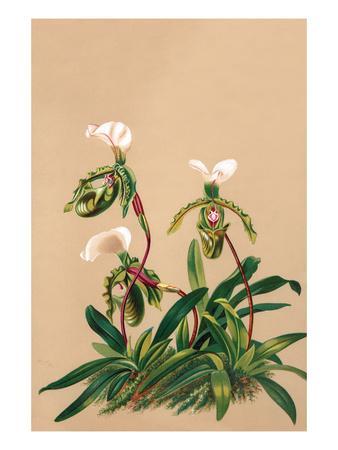 Cypripedium Spicerianum; East Indian Lady Slipper