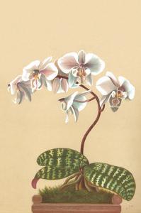 Phalenopsis Schilleriana by H.g. Moon