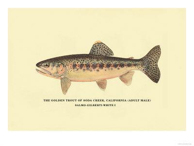 The Golden Trout of Soda Creek
