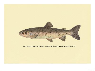 The Steelhead Trout