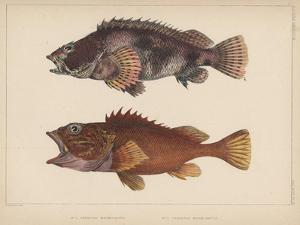 Sebastes Marmoratus, 1855 by H. Patterson