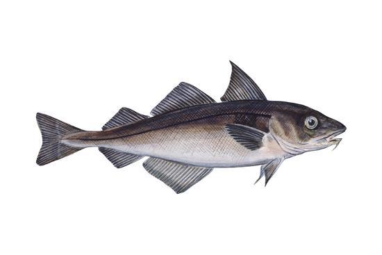 Haddock (Melanogrammus Aeglefinus), Fishes-Encyclopaedia Britannica-Art Print