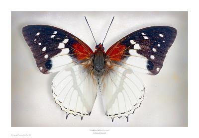 Hadrians White Charaxes-Richard Reynolds-Art Print