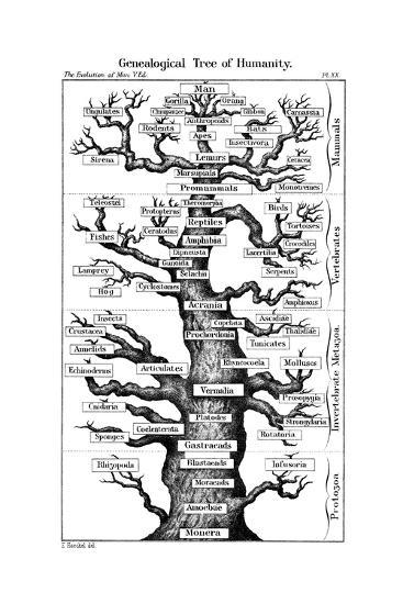 Haeckel's Scheme of Evolution Displayed in the Form of a Tree, 1910-Ernst Heinrich Philipp August Haeckel-Giclee Print