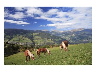 Haflinger horses on a mountain pasture, Valle d'Isarco, Dolomites, Province of Trento, Italy--Art Print