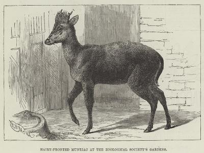 Hairy-Fronted Muntjac at the Zoological Society's Gardens--Giclee Print