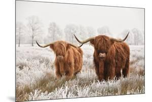 Hairy Scottish Highlanders in a Natural Winter Landscape of a National Park in Drenthe Region of Th