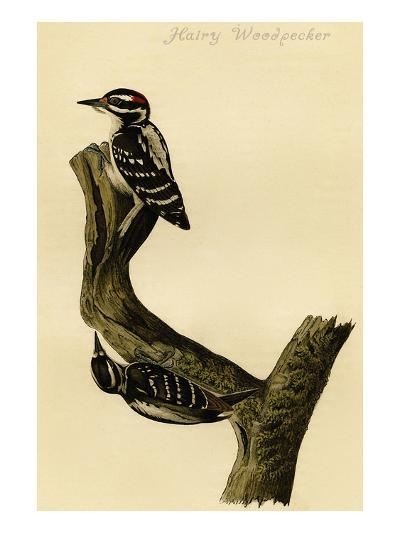 Hairy Woodpecker-John James Audubon-Art Print