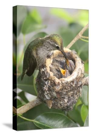Anna's Hummingbird Feeds Chicks in it's Nest