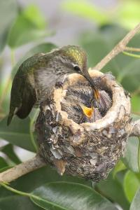 Anna's Hummingbird Feeds Chicks in it's Nest by Hal Beral
