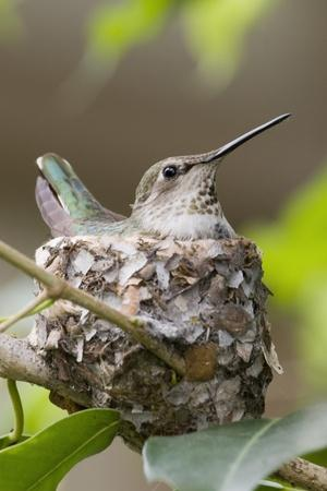 Anna's Hummingbird Sits on Eggs in Her Nest