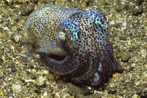 Berry's Bobtail Squid by Hal Beral