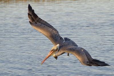 Brown Pelican in Breeding Plummage Flying