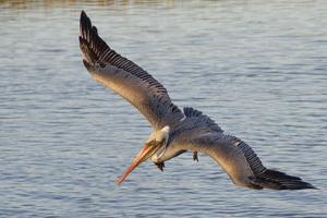 Brown Pelican in Breeding Plummage Flying by Hal Beral