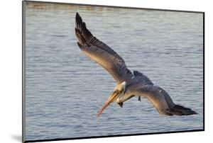 Brown Pelican in Breeding Plummage Flying by Hal Beral