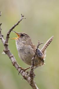 Marsh Wren Calling by Hal Beral