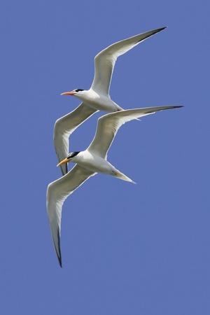 Pair of Elegant Terns in Fight