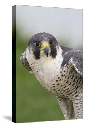 Peregrine Falcon Close-Up