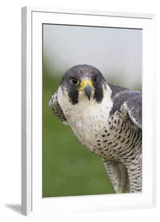 Peregrine Falcon Close-Up by Hal Beral