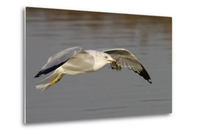 Ring-Billed Gull Flys with a Bat in it's Bill