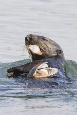 Southern Sea Otter Eats a Clam by Hal Beral