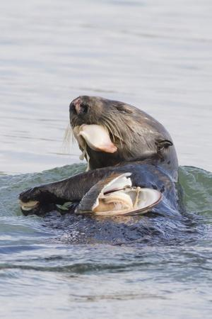 Southern Sea Otter Eats a Clam