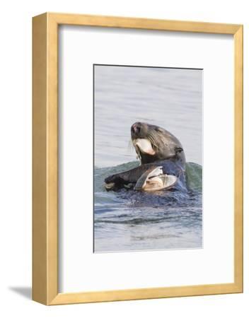 Southern Sea Otter Eats a Clam
