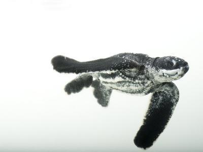 Half-Day-Old Leatherback Turtle Hatchling-Joel Sartore-Photographic Print