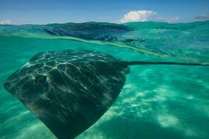 Half Water Half Land, Stingray in the Pacific Ocean, Moorea, Tahiti, French Polynesia