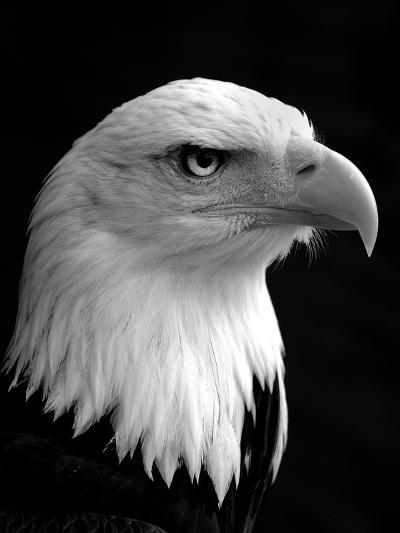 Haliaeetus Leucocephalus (Bald Eagle)-Saffron Blaze-Photographic Print