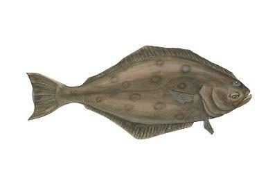 Halibut (Hippoglossus Hippoglossus), Fishes-Encyclopaedia Britannica-Art Print