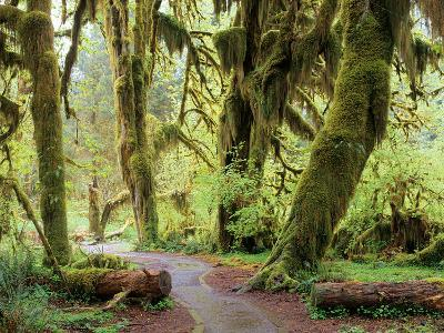 Hall of Mosses and Trail, Big Leaf Maple Trees and Oregon Selaginella Moss, Hoh Rain Forest-Jamie & Judy Wild-Photographic Print
