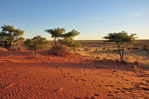 Red Sands and Bush at Sunset, Kalahari by halpand