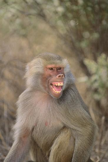 Hamadryas Baboon Baring Teeth-DLILLC-Photographic Print