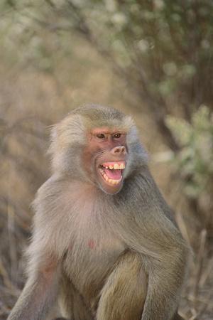 https://imgc.artprintimages.com/img/print/hamadryas-baboon-baring-teeth_u-l-pzriiw0.jpg?p=0