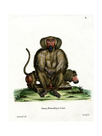 https://imgc.artprintimages.com/img/print/hamadryas-baboon_u-l-pvr01e0.jpg?p=0