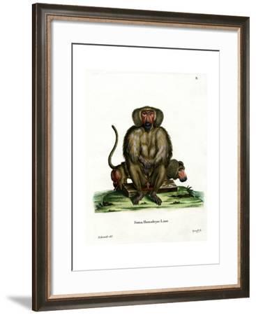Hamadryas Baboon--Framed Giclee Print