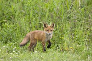 Red Fox (Vulpes Vulpes) Cub, Oostvaardersplassen, Netherlands, June 2009 by Hamblin
