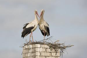 White Stork (Ciconia Ciconia) Pair at Nest on Old Chimney by Hamblin