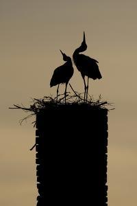 White Stork (Ciconia Ciconia) Pair Displaying by Hamblin