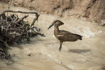 Hamerkop (Scopus Umbretta), South Luangwa National Park, Zambia, Africa-Janette Hill-Photographic Print