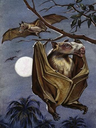 Hammer-Headed Bat or Big-Lipped Bat (Hypsignathus Monstrosus), Pteropodidae--Giclee Print
