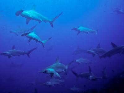 Hammerhead Shark Schooling Off a Seamount-Ben Horton-Photographic Print