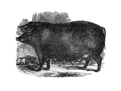 Hampshire Sow, 1848--Giclee Print