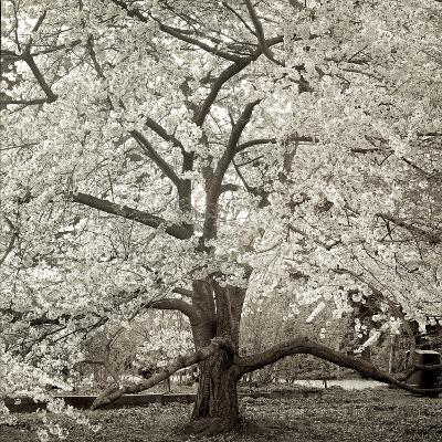 Hamption Magnolia II-Alan Blaustein-Photographic Print