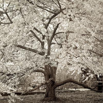 Hampton Magnolia #2-Alan Blaustein-Photographic Print