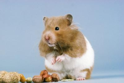 Hamster and Nuts--Photographic Print