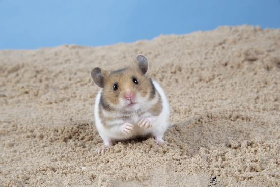 Hamster Digging in Sand--Photographic Print